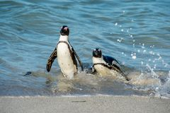 African penguins walk out of the ocean on the sandy beach. African penguin  Spheniscus demersus also known as the pengui Royalty Free Stock Image