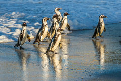 African penguins walk out of the ocean on the sandy beach. Royalty Free Stock Photos