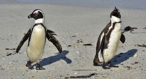 African penguins walk out of the ocean on the sandy beach. African penguin  Spheniscus demersus also known as the jackass pengui. N and black-footed penguin Stock Images