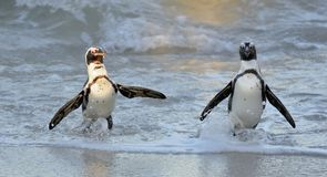 African penguins walk out of the ocean on the sandy beach. Stock Photo