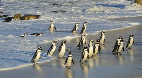 African penguins walk out of the ocean on the sandy beach. Stock Images