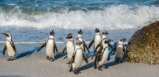 African penguins walk out of the ocean Stock Photography
