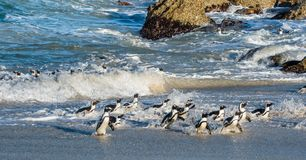 African penguins walk out of the ocean Royalty Free Stock Images