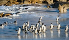 African penguins walk out of the ocean on the sandy beach. Royalty Free Stock Images