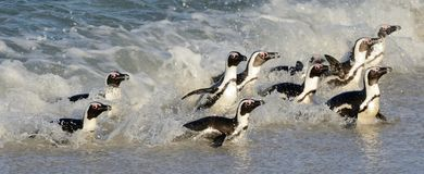 Free African Penguins Walk Out Of The Ocean. Stock Photos - 108378083
