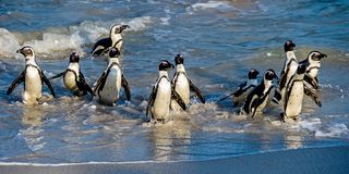 African Penguins Walk Out Of The Ocean To The Sandy Beach. African Penguin Also Known As The Jackass Penguin, Black-footed Penguin Stock Photography