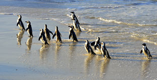 African penguins Royalty Free Stock Photography