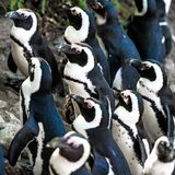 African penguins. At the zoo in Warsaw. Poland Royalty Free Stock Image