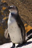 African Penquin at Boulder Beach in South Africa Royalty Free Stock Photo