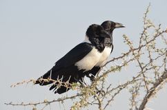 African pied crows Royalty Free Stock Images