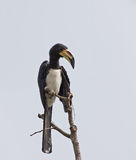 African Pied Hornbill Royalty Free Stock Photos