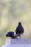 African pied starlings (Spreo bicolor). Two African pied starlings (Spreo bicolor) sitting on a post in South Africa Royalty Free Stock Photography