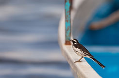 An African Pied Wagtail on a boat Royalty Free Stock Photo