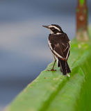 An African Pied Wagtail on deck Royalty Free Stock Images