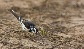 African Pied Wagtail looking curiously Stock Photo
