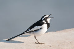 African Pied Wagtail Royalty Free Stock Image