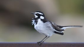 African Pied wagtail (Motacilla aguimp) Royalty Free Stock Image