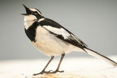 African Pied Wagtail - Uganda, Africa Royalty Free Stock Photography