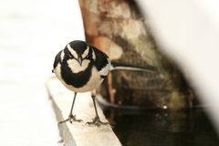 African Pied Wagtail - Uganda, Africa Royalty Free Stock Photos