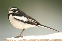 African Pied Wagtail - Uganda, Africa Stock Photography