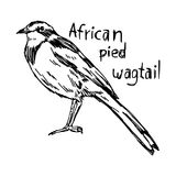 African pied wagtail - vector illustration sketch hand drawn wit Stock Photo