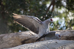 African pigeons. Royalty Free Stock Photos