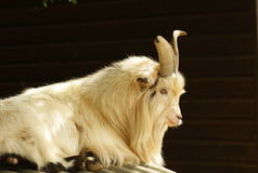 African pigmy goat. Handsome long haired, horned African Pygmy goat on brown background Stock Image
