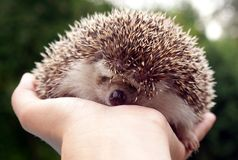 An african pigmy hedgehog Stock Photography