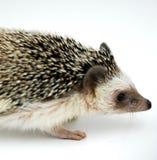 African Pigmy Hedgehog. Studio portrait African pigmy hedgehog Stock Image
