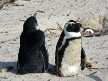 African pinguin Royalty Free Stock Photo