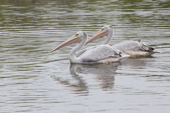 African Pink Backed Pelicans