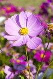 African pink daisy Stock Photography