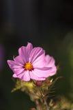 African pink daisy flower Osteospermum Stock Images