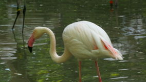 African Pink Flamingo Preening Its Feathers stock video