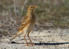 African Pipit Royalty Free Stock Images