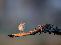 African Pipit perched in a tree Royalty Free Stock Photography