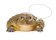 African Pixie Frog with Speech Bubble Stock Images