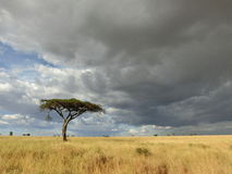 African plains. A lone tree on a vast grassland on an African plains Royalty Free Stock Photos