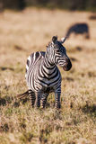 African plains zebra on the dry brown savannah grasslands browsing and grazing. Stock Photos