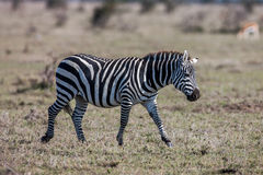 African plains zebra on the dry brown savannah grasslands browsing and grazing. Royalty Free Stock Images
