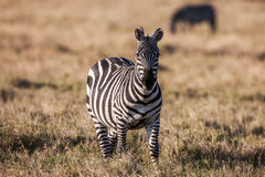 African plains zebra on the dry brown savannah grasslands browsing and grazing. Royalty Free Stock Photography