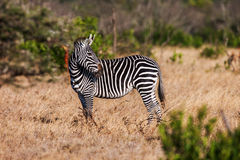 African plains zebra on the dry brown savannah grasslands browsing and grazing. Stock Image