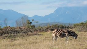 An African plains zebra grazes at in foreground with mountain range in the distance stock video footage