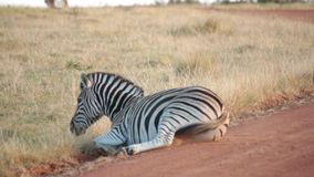 An African plains zebra rolls around in the dust stock video
