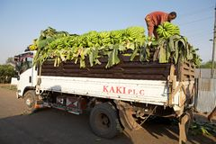 African plantains. African man are loading the truck with plantains at Arba Minch, Ethiopia Royalty Free Stock Photography