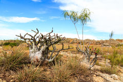 African plants in a rough rocky grassland landscape Royalty Free Stock Photo