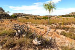 African plants in a rough rocky grassland landscape Stock Images