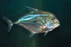 African pompano. (Alectis ciliaris) in Japan Royalty Free Stock Photo