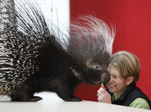 African Porcupine Stock Photos