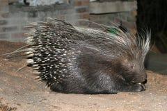 African porcupine Stock Photos
